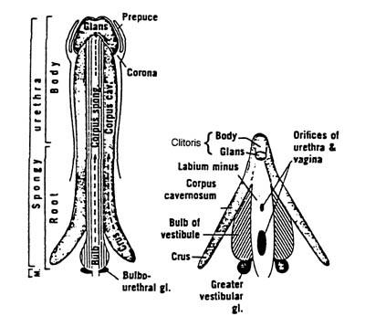 Penis and clitoris